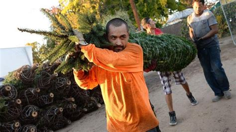 christmas tree farms in clovis california tree where to buy in fresno area farms lots the fresno bee