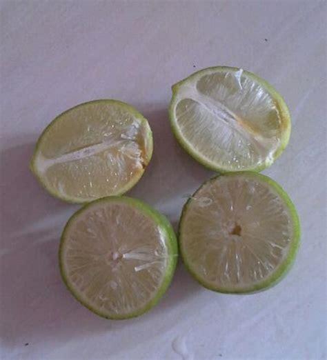 Jual Bibit Jeruk Nipis Tanpa Biji lihat keboenkoe stek jeruk nipis non biji