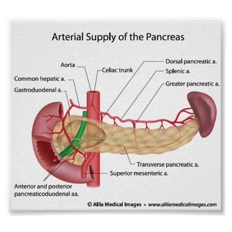 diagram of pancreas in pancreas pancreas diagram