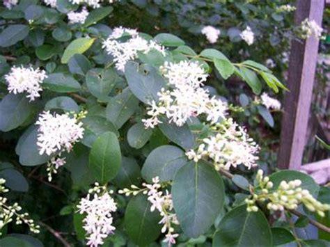 white flower shrub fragrant large shrub clusters of fragrant white flowers