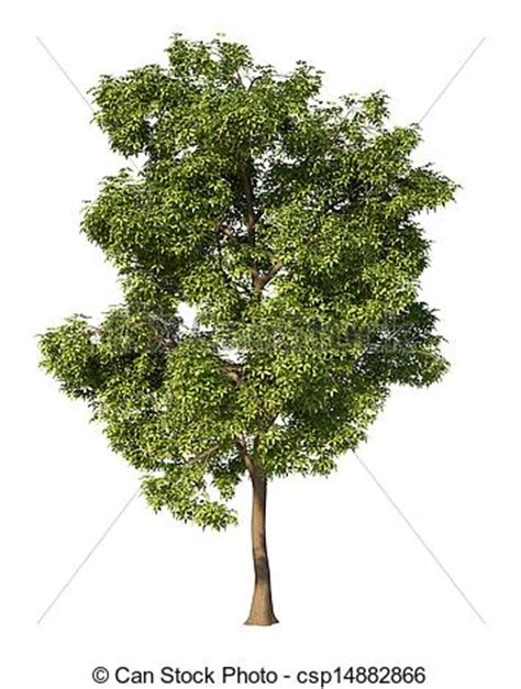 maple tree drawing stock illustration of maple tree without environment and shadow csp14882866 search clip