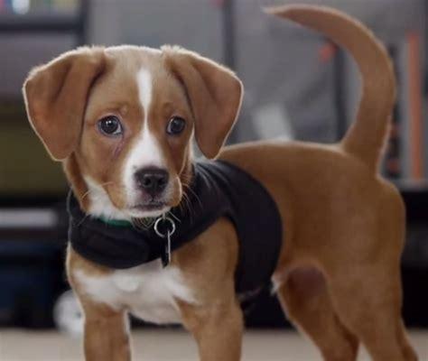 Bagelen Mix cheagle beagle chihuahua mix info puppies temperament