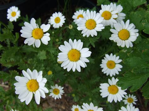daisies flower flowers daisies pictures beautiful flowers
