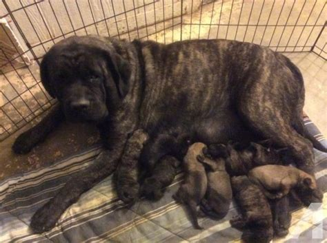 puppies for sale in lubbock tx mastiff puppies akc for sale in lubbock classified americanlisted