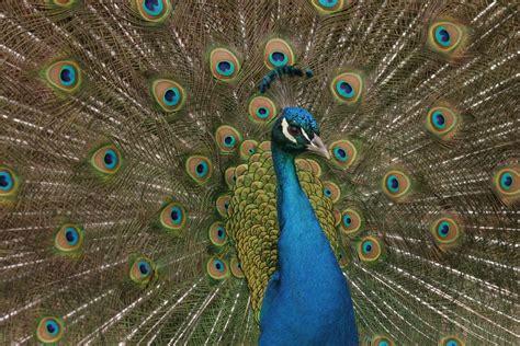 Pretty As A Peacock by Pretty As A Peacock By Kijani On Deviantart