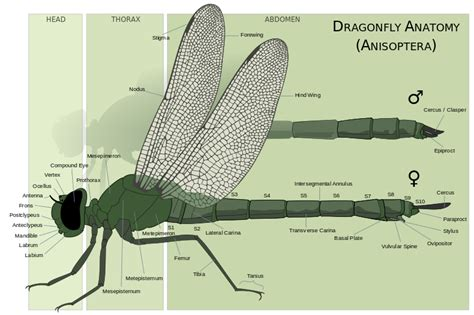 dragonfly anatomy diagram file dragonfly anatomy svg