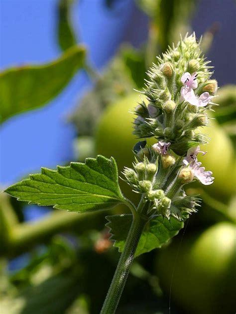 Garten Pflanzen Gegen Fliegen by 8 Bekannte Heilpflanzen Die M 252 Cken Vertreiben