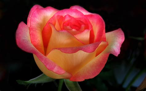 rose s beautiful color roses wallpaper 18577531 fanpop