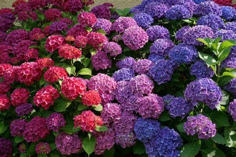 hydrangea change color how to change the color of hydrangeas farmer s almanac