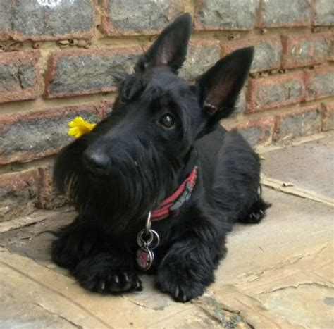 scotty dogs 1000 images about scottish terriers on scottish terriers scottie dogs