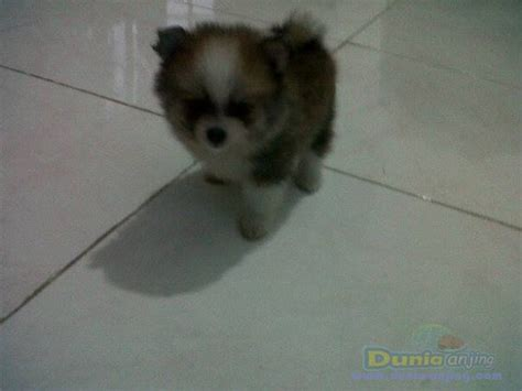 Anakan Arwana Murah Dunia Anjing Jual Anjing Pomeranian Anakan Minipom Murah Berkualitas