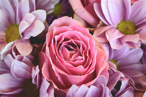 free flower images and stock photos free stock photo of flowers pink roses