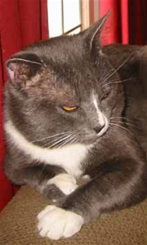1000 images about health feline ibd irritable bowel