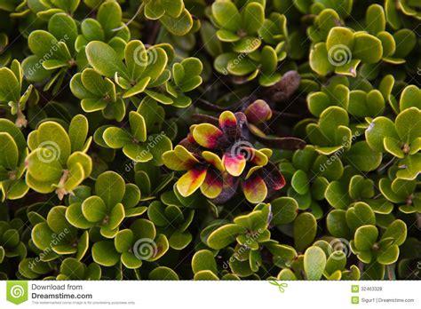 imagenes de uva ursi planta e folhas da uva ursina fotos de stock royalty free