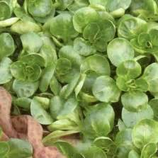 Bibit Selada Hijau benih selada hijau keriting