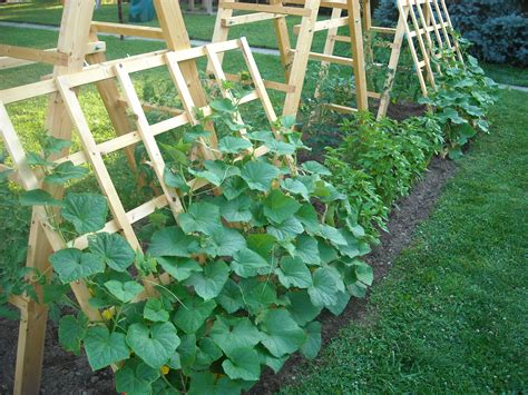 How To Grow Cucumbers On A Trellis the gallery for gt cucumber plant trellis
