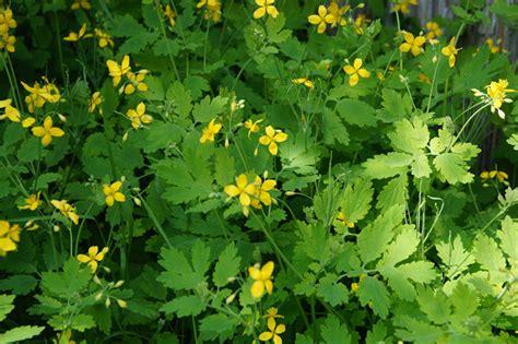 Pflanze Gegen Warzen 4554 pflanze gegen warzen pflanze gegen warzen sch llkraut
