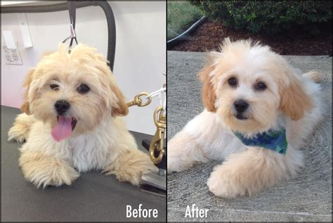 shih tzu puppy cut before and after shih poo grooming styles hairstylegalleries