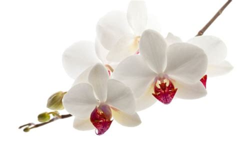 orchidea nera fiore significato dei fiori l orchidea perch 232 regalarla a chi