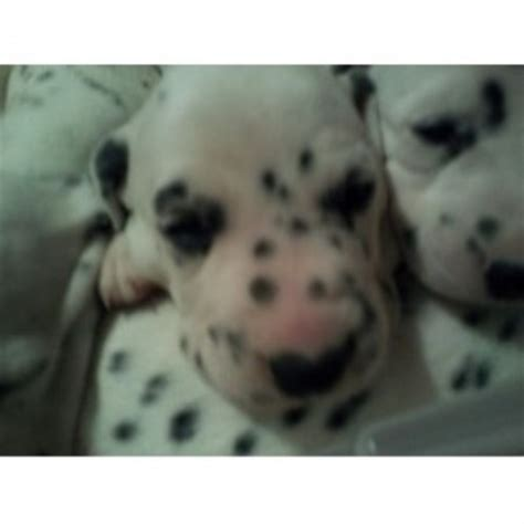 free puppies in ct adopt dalmatian breeders in connecticut freedoglistings