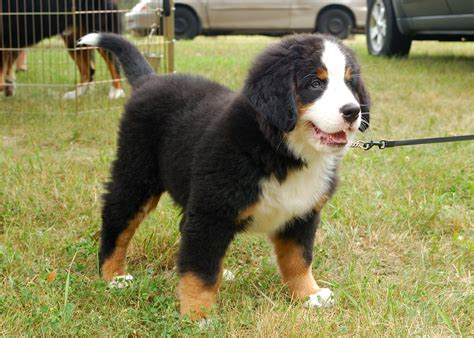mountain puppies bernese mountain symbolism spirit animal totems