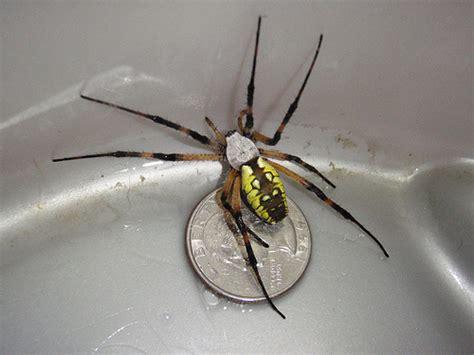 Yellow Garden Spider Size Black And Yellow Garden Spider Arnold Mo P9190760 A