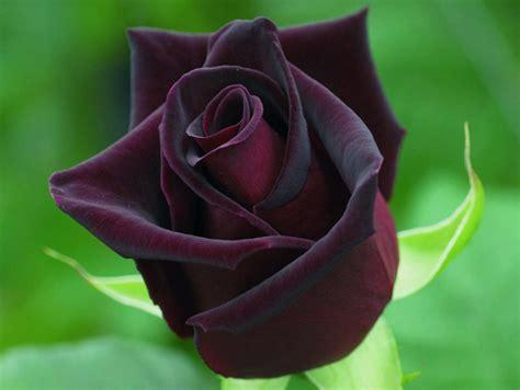 imagenes de rosas negras y rojas 191 enviar flores a los hombres es adecuado tiernos detalles