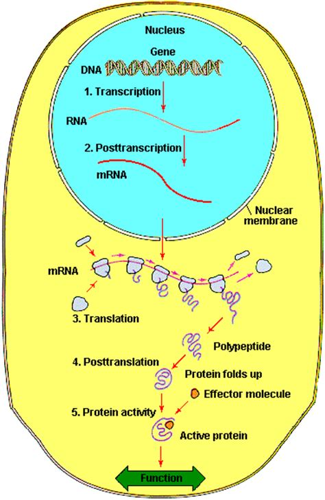 where in a eukaryotic cell does translation occur genetics lecture notes 20 mar 1998