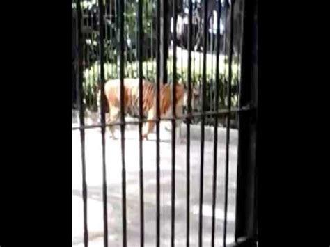 Harimau Lapar suara harimau lapar