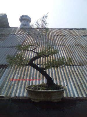 Jual Bakalan Bonsai Cemara Udang jual bakalan bonsai cemara udang bakalan juara