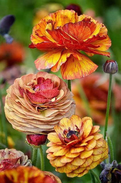 autumn flower ranunculus in beautiful autumn colors flowers everywhere