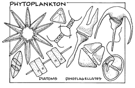 zooplankton coloring pages phytoplankton