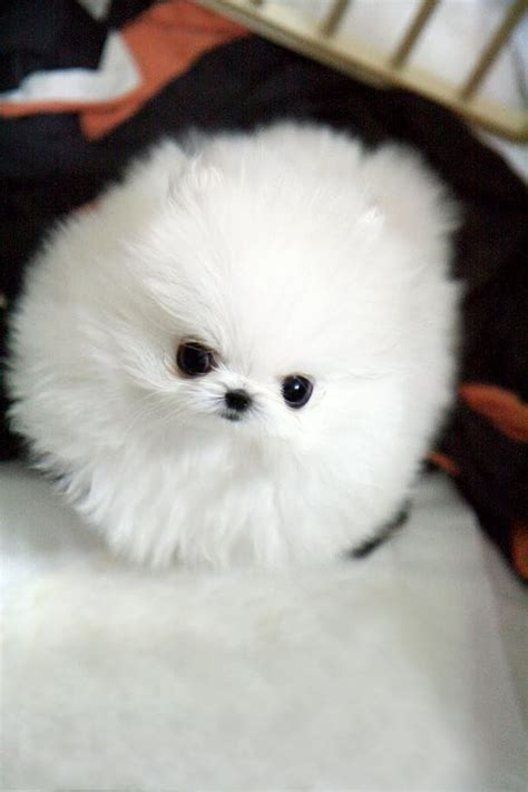 real teacup puppies teacup pomeranian seriously this is it doesn t even look real so