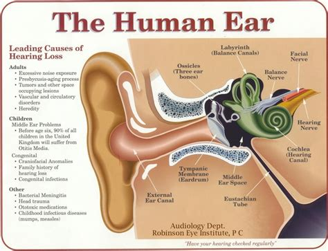 parts of the middle ear wiring diagrams wiring diagram