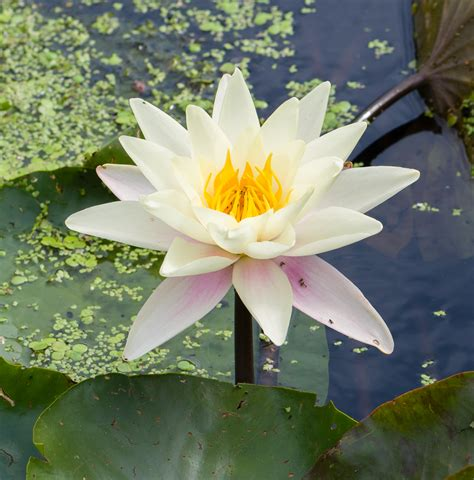 a flower file nymphaea alba flower jpg wikimedia commons