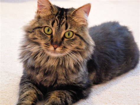 Sho Kucing Dan Harga kucing maine coon ciri ciri harga makanan satwapedia