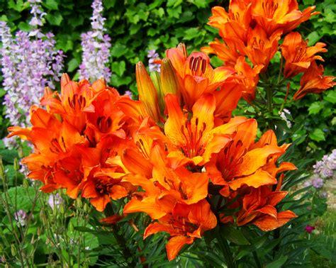 Tanaman Bunga Azalea Orange gambar menanam jeruk botani flora bunga liar belukar bunga bakung taman bunga tanaman
