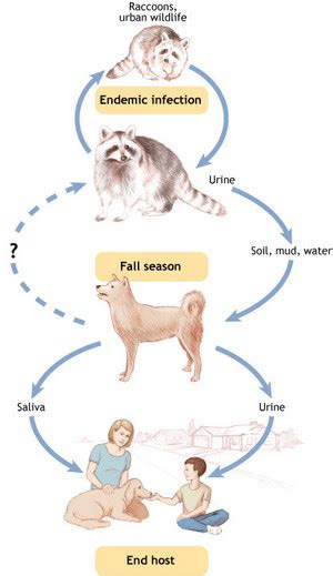 symptoms of leptospirosis in dogs leptospirosis and lodging tippvet