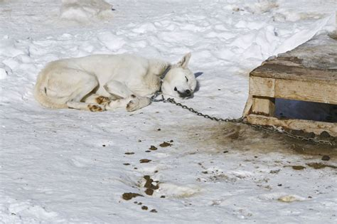 puppy has diarrhea iditarod kennel horrors sled coalition