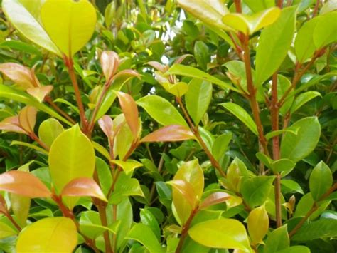 Syzygium Backyard Bliss by Syzygium Backyard Bliss Landsdale Plants