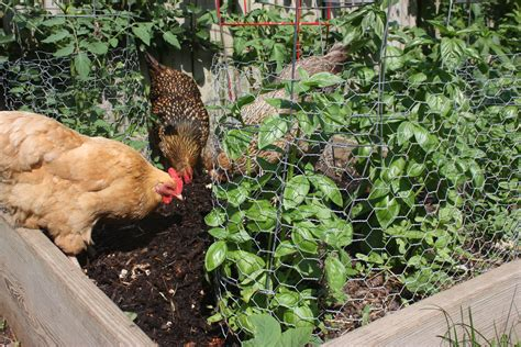 Chicken Garden by How To Chicken Proof Your Garden Modern Farmer