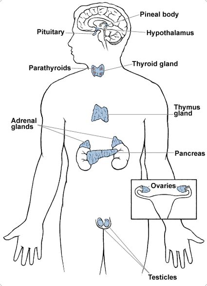 diagram of endocrine system parts of the endocrine system from the american