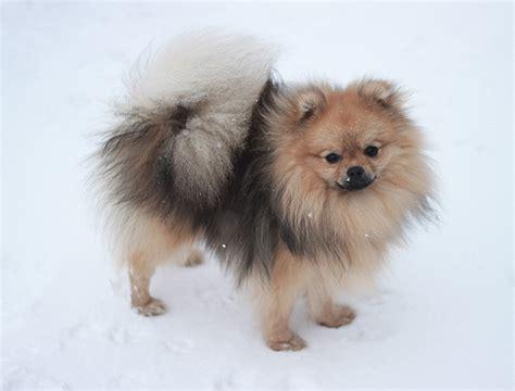 Pomeranian Shed A Lot by 187 Jeanette