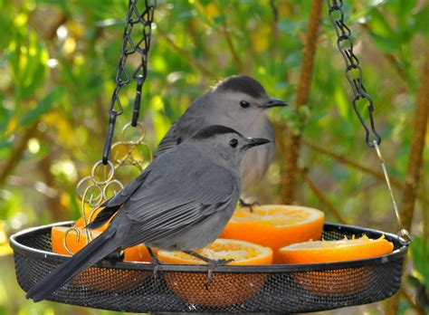 gray catbird petals and wings