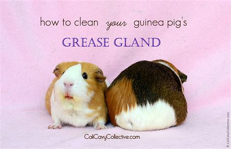 how to clean glands cali cavy collective a about all things guinea pig 13 popular guinea pig