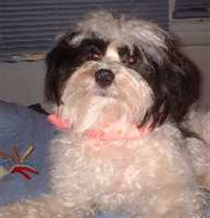royal canin havanese breeds havanese havanese royal canin breeds picture