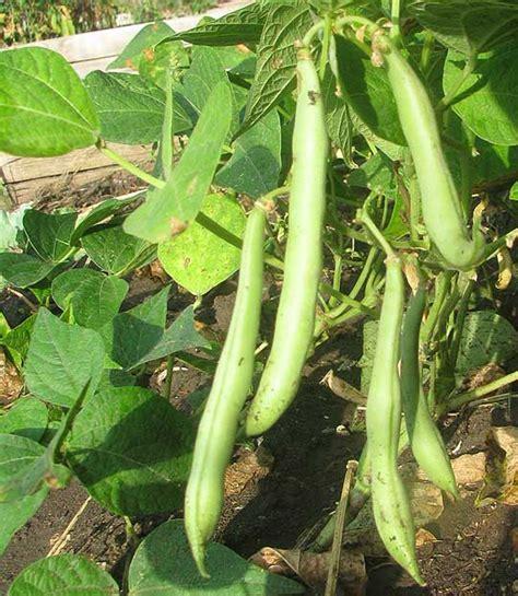 green beans phaseolus vulgaris