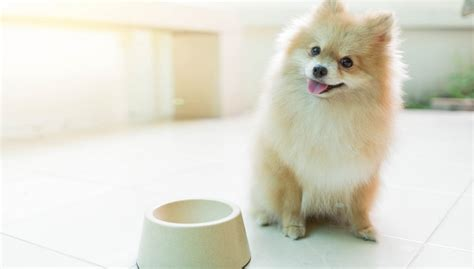 pomeranian puppy food best food for pomeranians 9 vet recommended brands