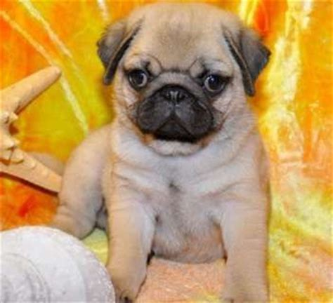 pug puppies for sale island ny pug puppies for sale york and for sale on