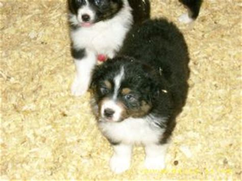 australian shepherd puppies michigan australian shepherd puppies in michigan